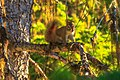 At Isobel lake…curious squirrel (8727140501).jpg