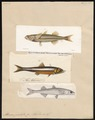 Atherina presbyter - 1700-1880 - Print - Iconographia Zoologica - Special Collections University of Amsterdam - UBA01 IZ13800021.tif