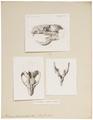 Atherura fasciculata - 1700-1880 - Print - Iconographia Zoologica - Special Collections University of Amsterdam - UBA01 IZ20600025.tif