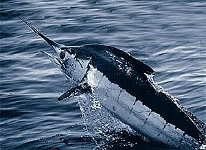Marlin - Atlantic blue marlin (Makaira nigricans)