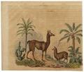 Auchenia lama - 1700-1880 - Print - Iconographia Zoologica - Special Collections University of Amsterdam - UBA01 IZ21600117.tif