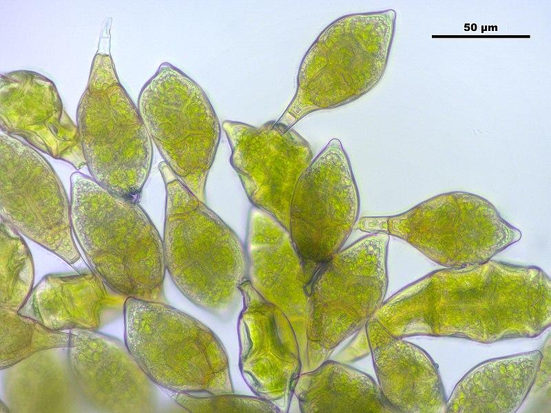 File:Aulacomnium androgynum (a, 145322-481416) 4051.JPG