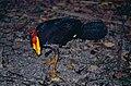 Australian Brushturkey (Alectura lathami) (9837124556).jpg