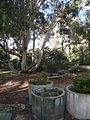 Australian National Botanic Gardens Eucalyptus Lawns.jpg