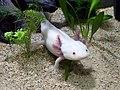 Axolotl2.jpg