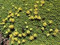 Azorella compacta (8427861521).jpg