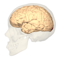 BA17 Primary visual cortex - lateral view.png