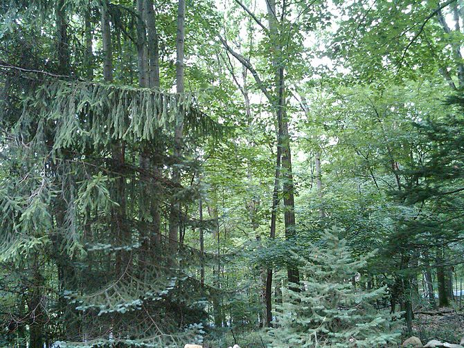 English: Evergreen and deciduous trees in Beth...
