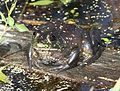 BULLFROG (Rana catesbeiana) (10-18-10) patagonia lake state park, scc, az -01 (5094676478).jpg
