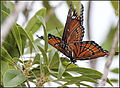 BUTTERFLIES OF FLORIDA (8514804722).jpg
