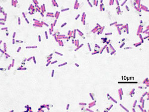 Firmicutes - Bacillus subtilis, Gram stained