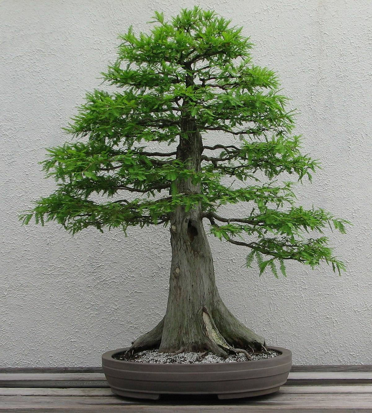 Bonsai Aesthetics Wikipedia