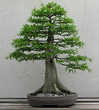 Photograph of formal upright–style Bald cypress bonsai