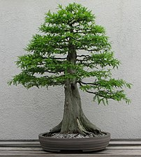 A Bald Cypress (Taxodium distichum) bonsai on ...