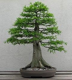 Bonsaibaum – Wiktionary