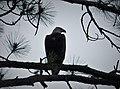 Bald Eagle Haliaeetus leucocephalus (38449763342).jpg