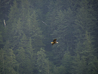 Bald Eagle over Juneau, Alaska.jpg