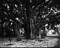Banyan Tree (1), Ainahau, photograph by Brother Bertram.jpg