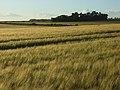 Barley, Compton - geograph.org.uk - 876618.jpg