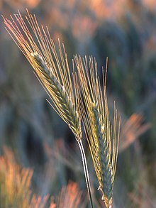 Barley ear, backlit 2.jpg