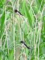 Barn swallows in Reed bed of Miyatakioike - 2.jpg