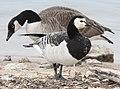 Barnacle Goose (of captive origin), New Buffalo, MI, 24 March 2013 (8641910210).jpg