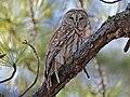 Barred Owl RWD2.jpg