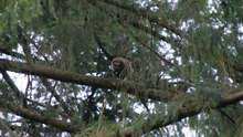 File:Barred owl (Strix varia) dining on a mole.webm