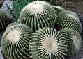 Barrel cacti, Kew Gardens.jpg