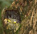 Basileuterus culicivorus nest.jpg