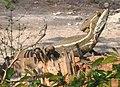 Basiliscus vittatus-2.jpg
