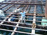 Toros de eucalipto preparados para a construción de bateas (esquerda) e home pendurando as cordas nunha batea (dereita).