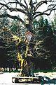 Baum bei Wallfahrtskirche Maria Trost - panoramio.jpg