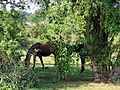 Bay horses in paddock at Hatfield Broad Oak Essex England.jpg