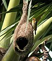 Baya weaver at nest I IMG 5101.jpg