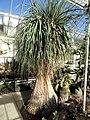 Beaucarnea recurvata - Lyman Plant House, Smith College - DSC04345.JPG