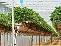 Beauregard-et-Bassac Beauregard fraisiculture (4).jpg