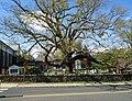 Beautiful tree in church cemetery in Basking Ridge New Jersey.JPG