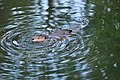 Beaver at Meadowbrook Pond, Seattle 18.jpg