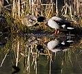 Beaver pond, Stanley park (2288778809).jpg