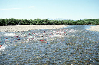 Spawning sockeye salmon in Becharof Creek, Becharof Wilderness, Alaska Becharof Wilderness Salmon.jpg