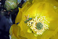 Bee & Pricklypear Cactus Bloom (129853346).jpg