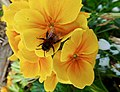 Bee (33050301414).jpg
