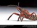 Bee Assassin (Reduviidae, Apiomerus spissipes) (27060520803).jpg