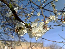 Bee in Prunus Armeniaca flowers.jpg