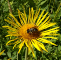 Bee on Horseheal (9384863573).png