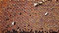 Bee pollen cells.jpg