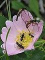 Beetles that look like ants (709800705).jpg