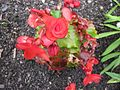 Begonia, Unterfranken 30.jpg