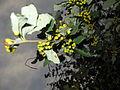 Berberidaceae 02.JPG